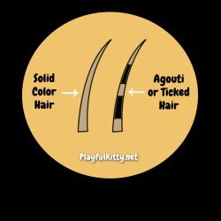 Tabby-Agouti-Hair-1024x1024[1]